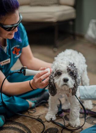 Dog being treated with Laser therapy
